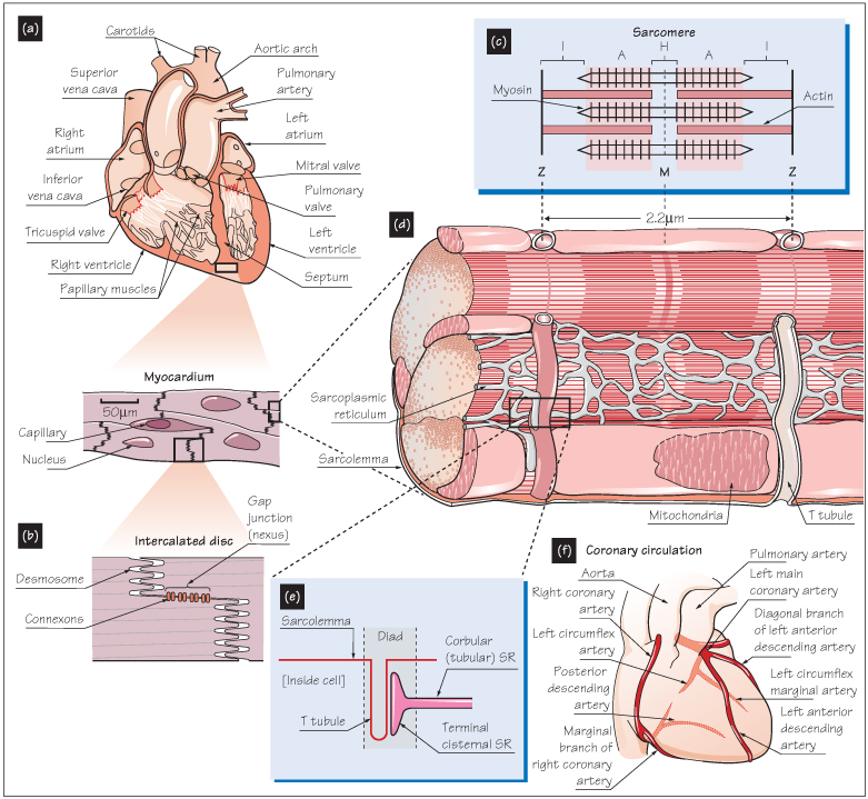 Gross Anatomy The Heart Figure