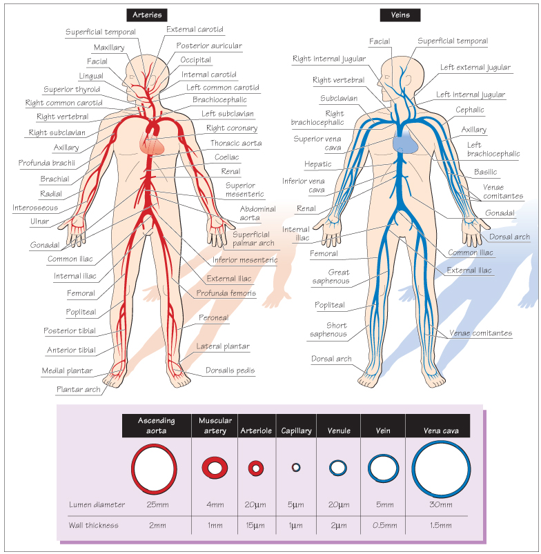 Vistoso Anatomy And Physiology Cardiovascular System Quiz Bosquejo ...