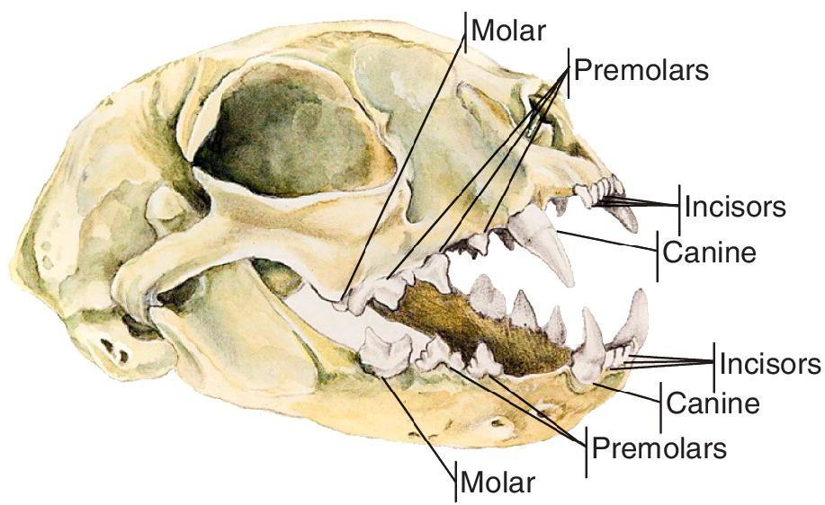 Anatomy of a ferret