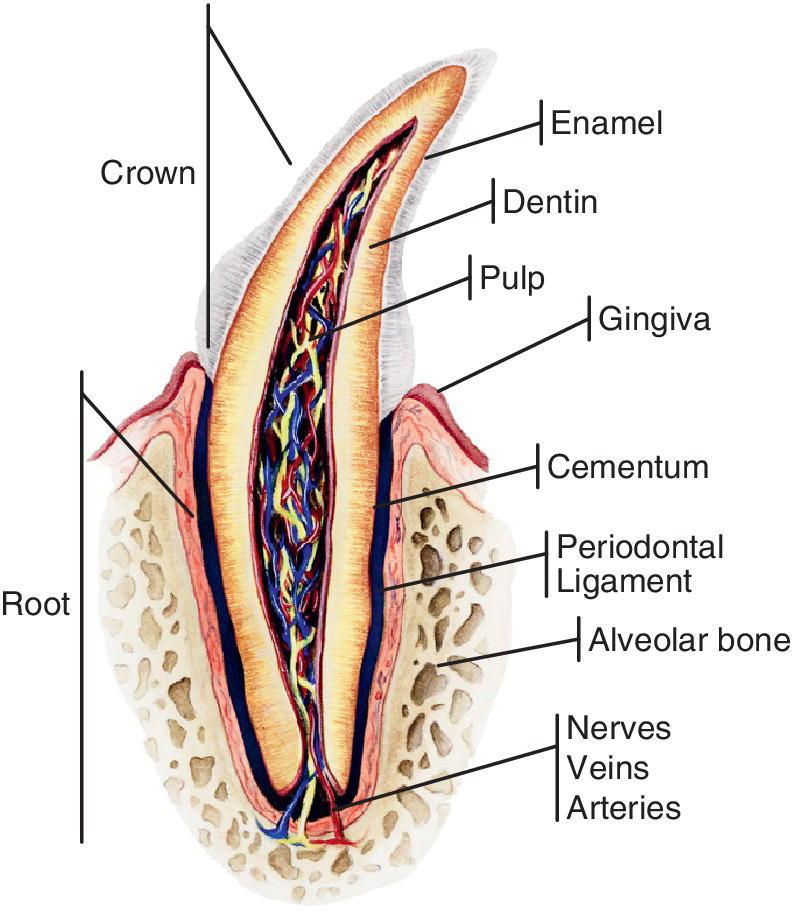Großzügig Anatomie Für Zahnmedizin Fotos - Anatomie Von Menschlichen ...