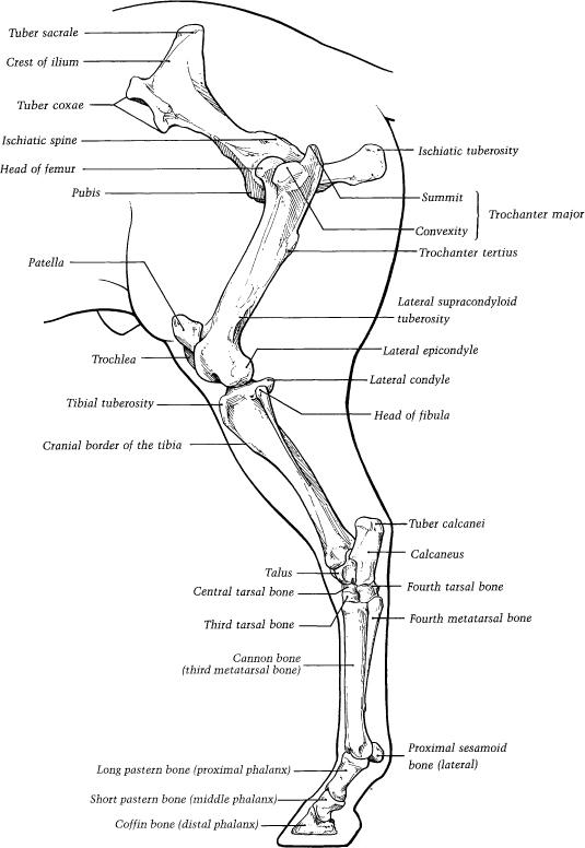 Horse back leg anatomy 774051 - follow4more.info