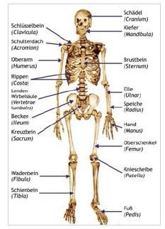 Abb. 2: Skelett von vorne