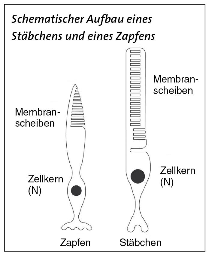 Fantastisch Auge Anatomie Stäbchen Und Zapfen Fotos - Menschliche ...