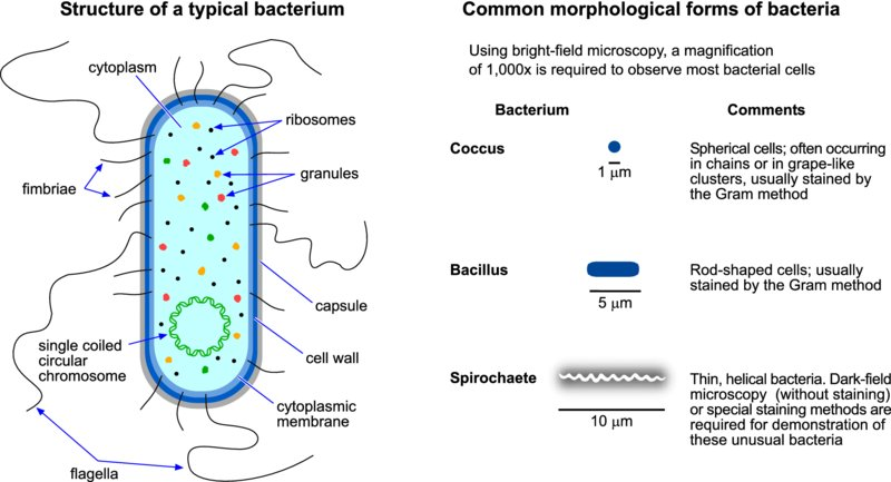 coccus bacteria diagram - photo #6